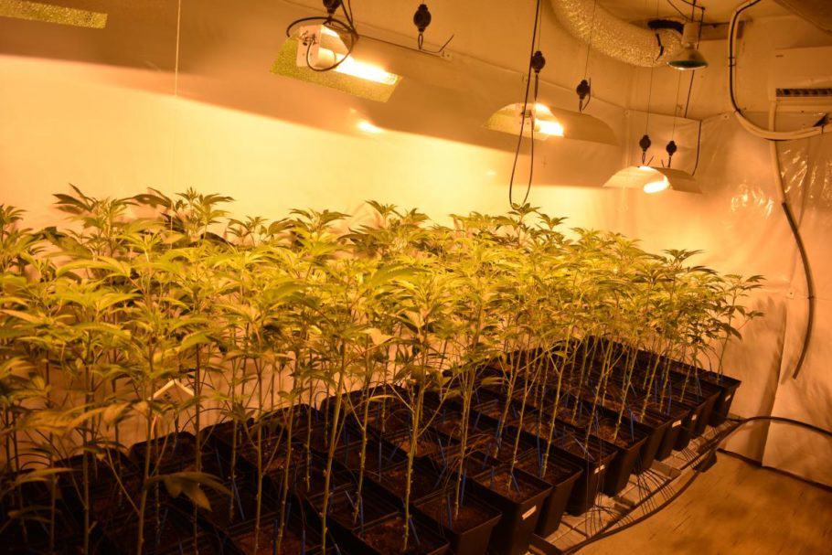 Cultiu de prova de Clementine Kush de Colorado Seed