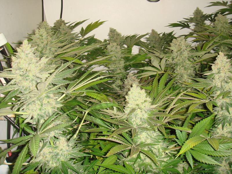 Cultiu de marihuana en coco