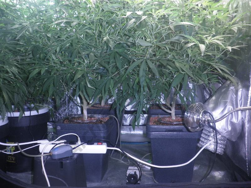 Cultiu de marihuana amb substrat de arlita