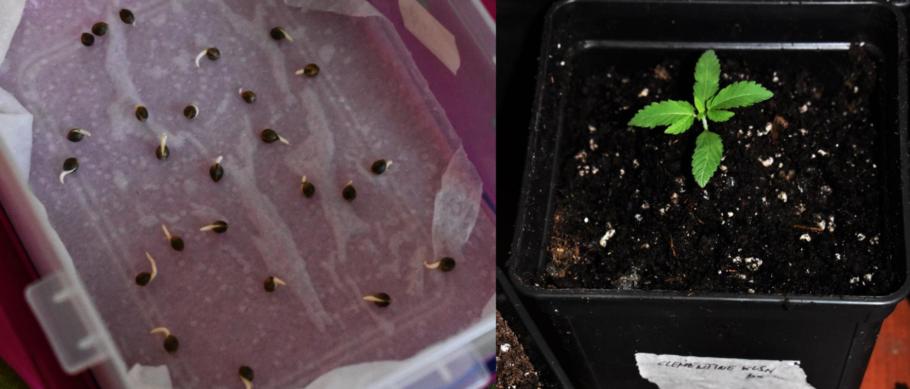 Alt índex de germinació i correcte desenvolupament vegetatiu