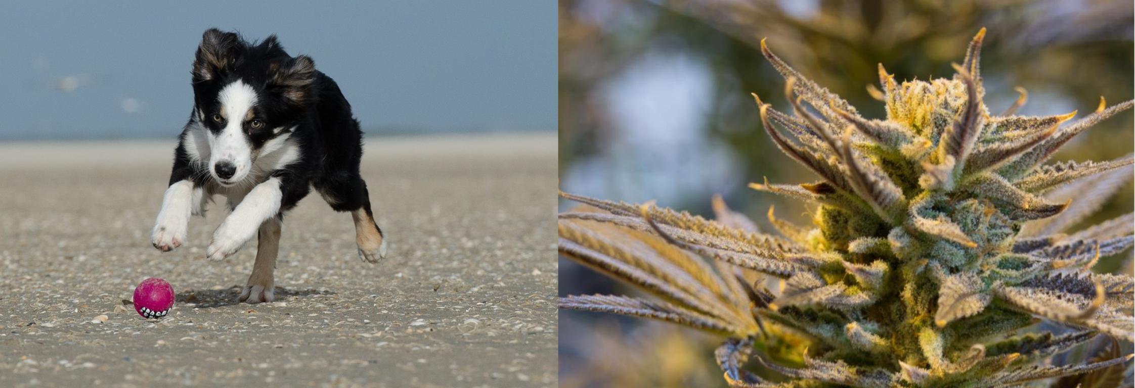 El cànnabis pot ajudar a les nostres mascotes a tenir una vida saludable