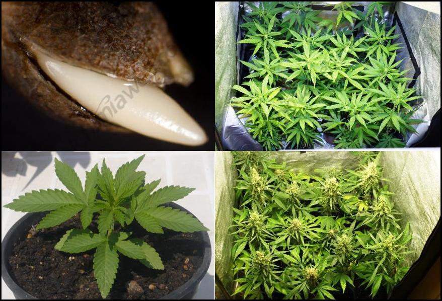 Fases de la vida de la planta de Marihuana