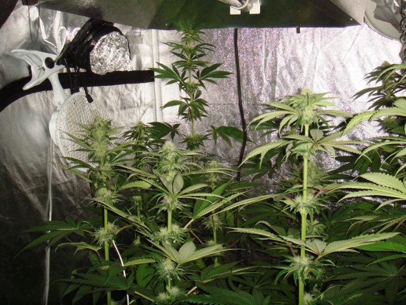 Les plantes comencen a produir molta resina