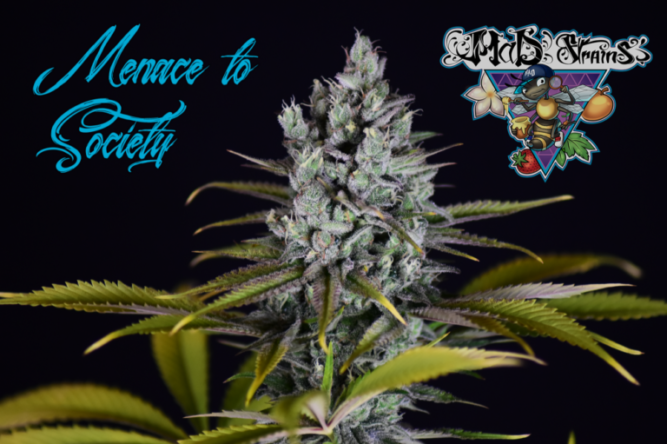 Cabdell de la varietat Menace To Society de MaD Strains