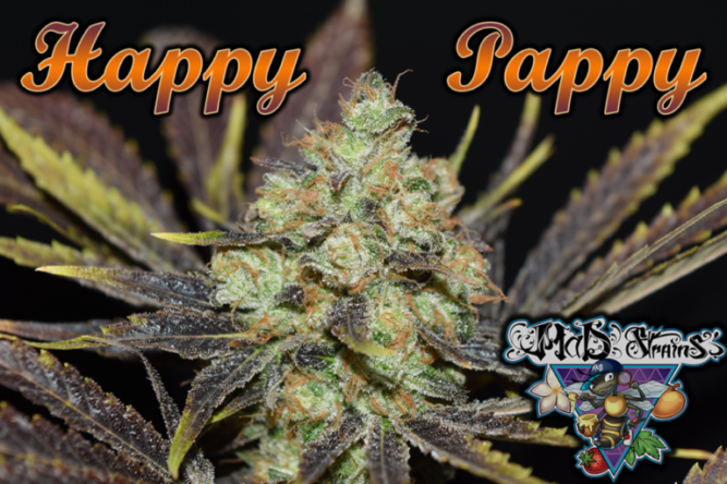 Happy Pappy, creuament de NYCD Mandarina x CBD Orange