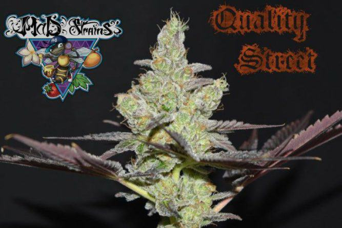 Quality Street de MaD Strains