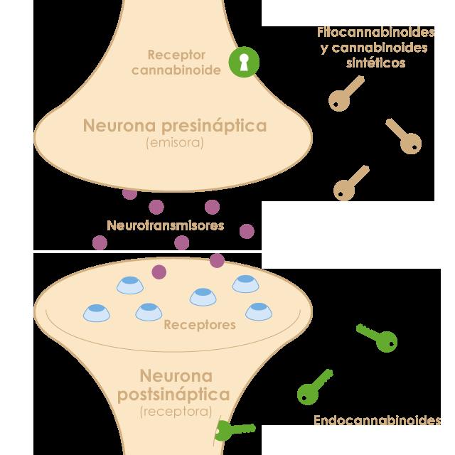 El sistema endocannabinoide regula diferents funcions de l'organisme