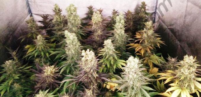 Cultiu de marihuana usant mesuradors de PH i EC