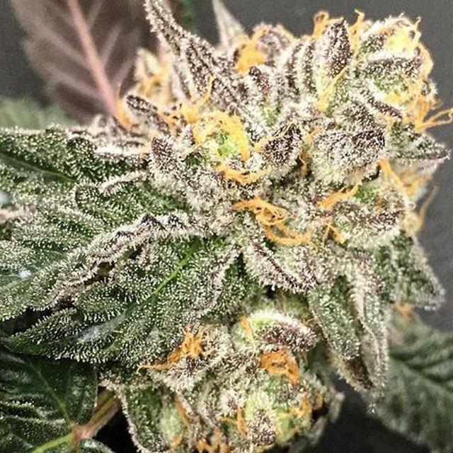Gelato BX de Purple Caper Seeds