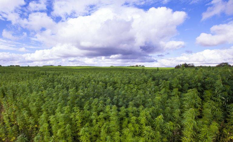 Cabdells de cànnabis 100% legals