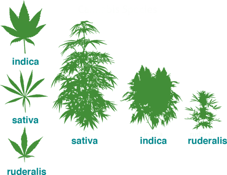Anatomia de la planta de cànnabis