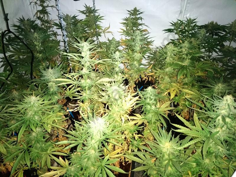 Cultiu de marihuana en interior amb temperatures de 40ºC