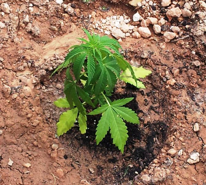 Planta de marihuana cultivada en argila, un substrat poc adequat