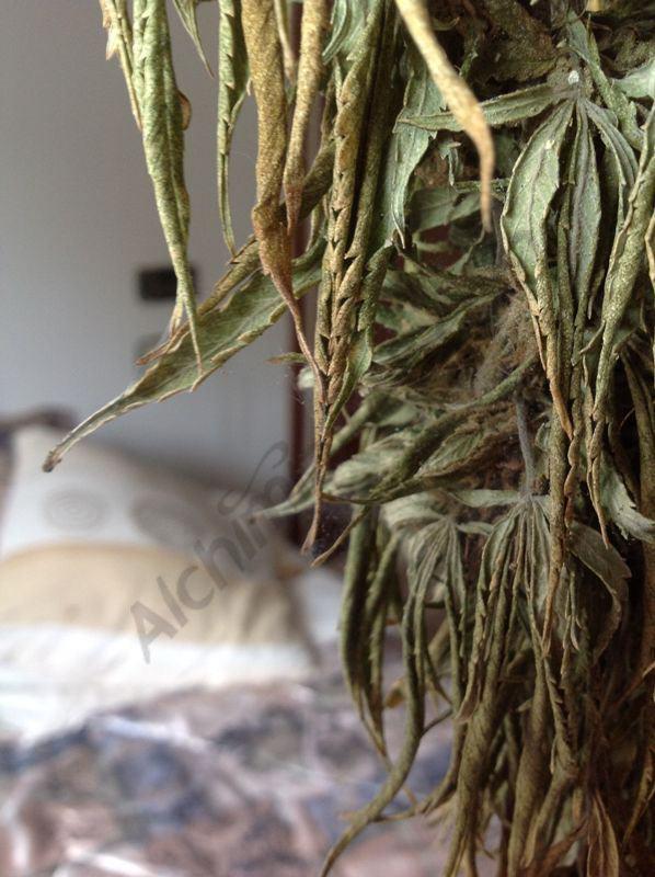 Mort d'una planta de marihuana per falta d'aigua