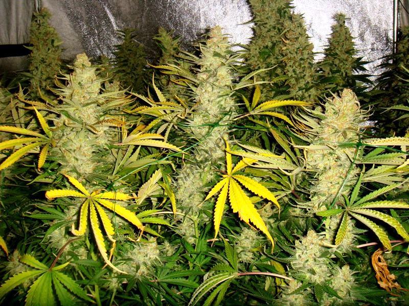 Plantes cultivades amb aminoàcids AminoXtreem i adobs Metrop
