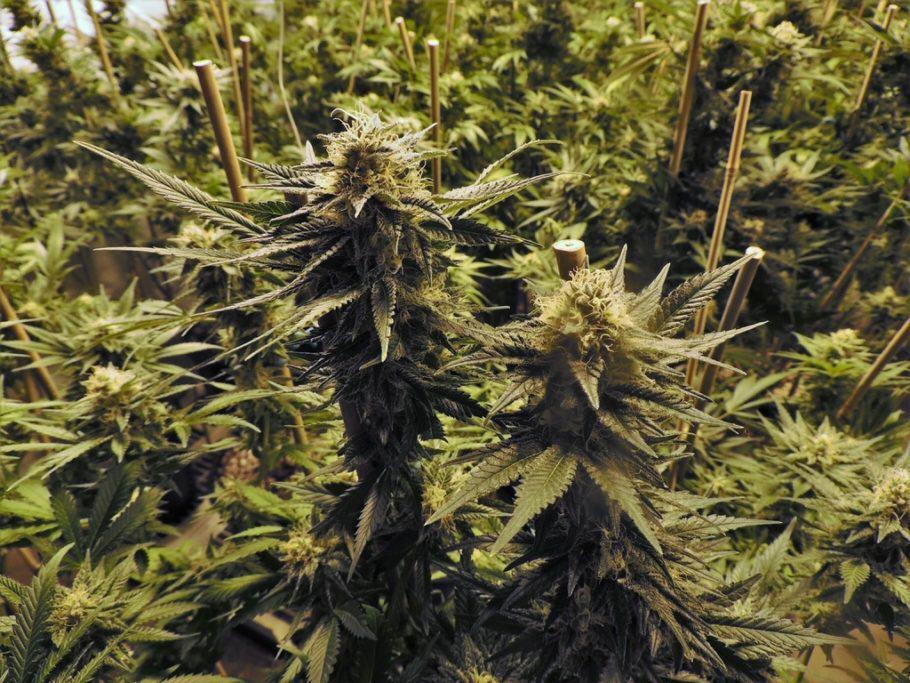 Algunes varietats de marihuana són menys aromàtiques que altres