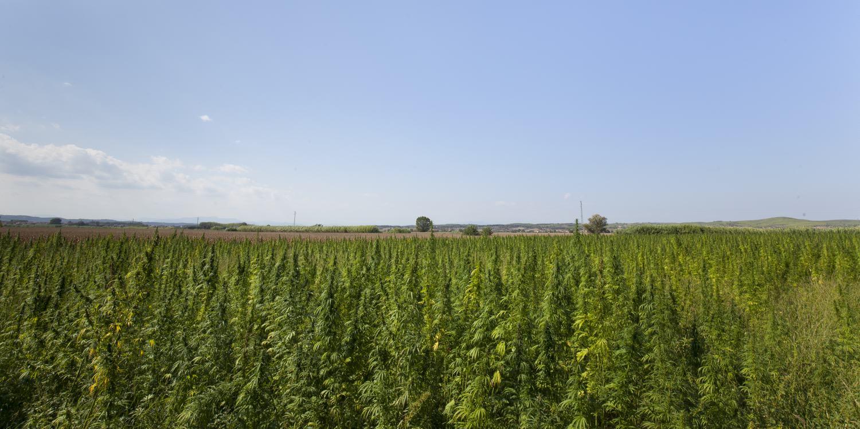 Camps de cultiu ecològic de cànem industrial on es produeixen les llavors