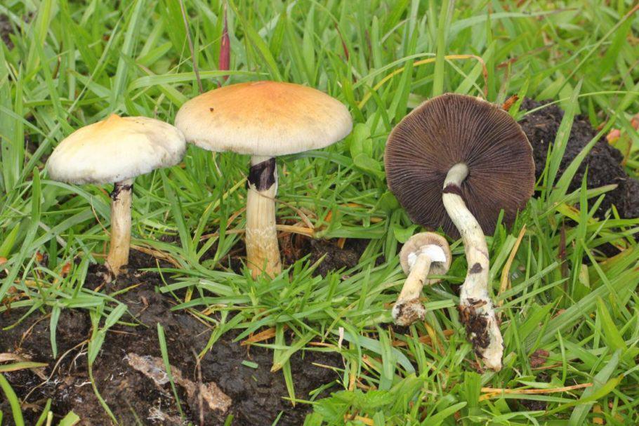 Psilocybe cubensis en el seu hàbitat natural