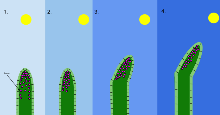 Posició de les auxines (hormones de creixement) a les plàntules en creixement