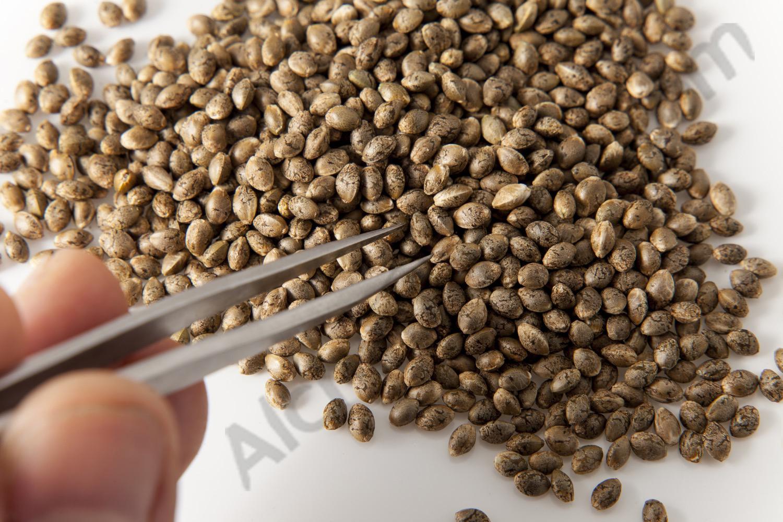 granes-llavors-cannabis-feminitzades