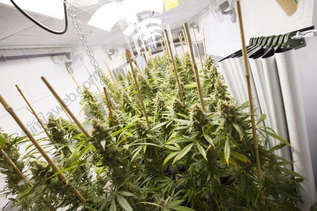 Cultiu en interior de llavors feminitzades amb un 100% de plantes femella