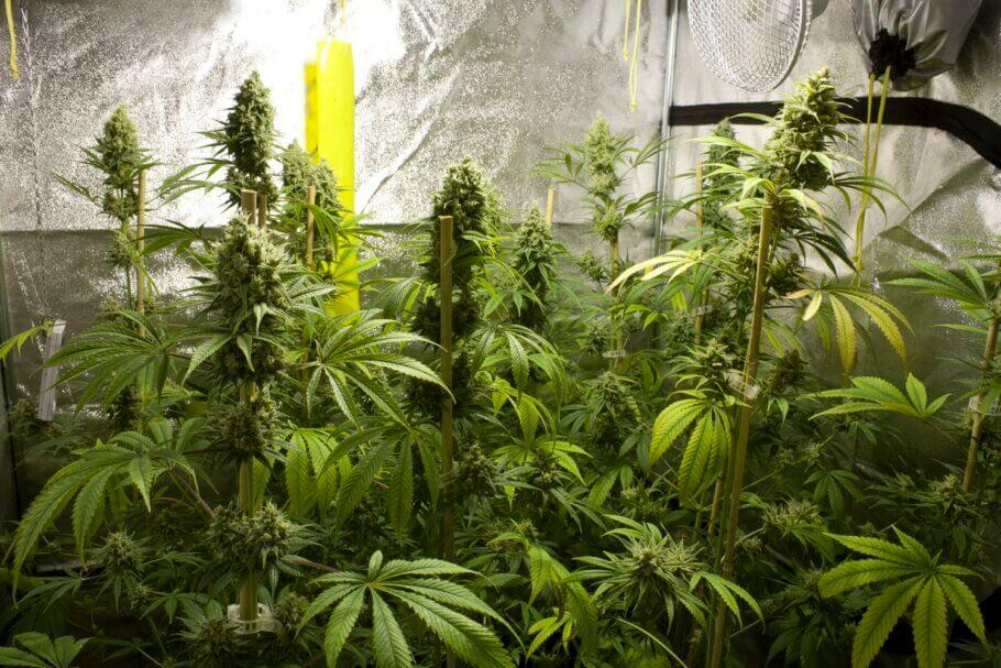 En un cultiu de llavors solem trobar plantes amb diferents característiques