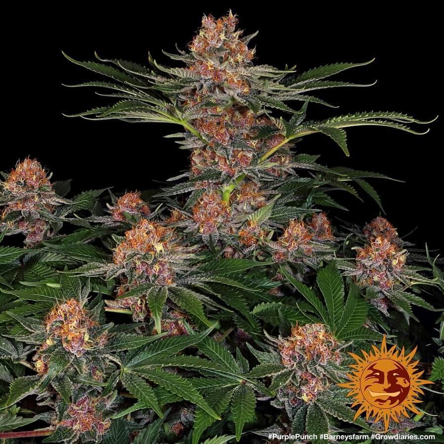 5-varietats-cannabis-populars-2020