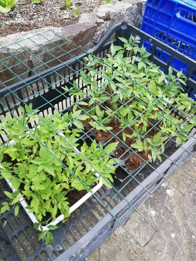 Planter amb diferents varietats de tomàquet