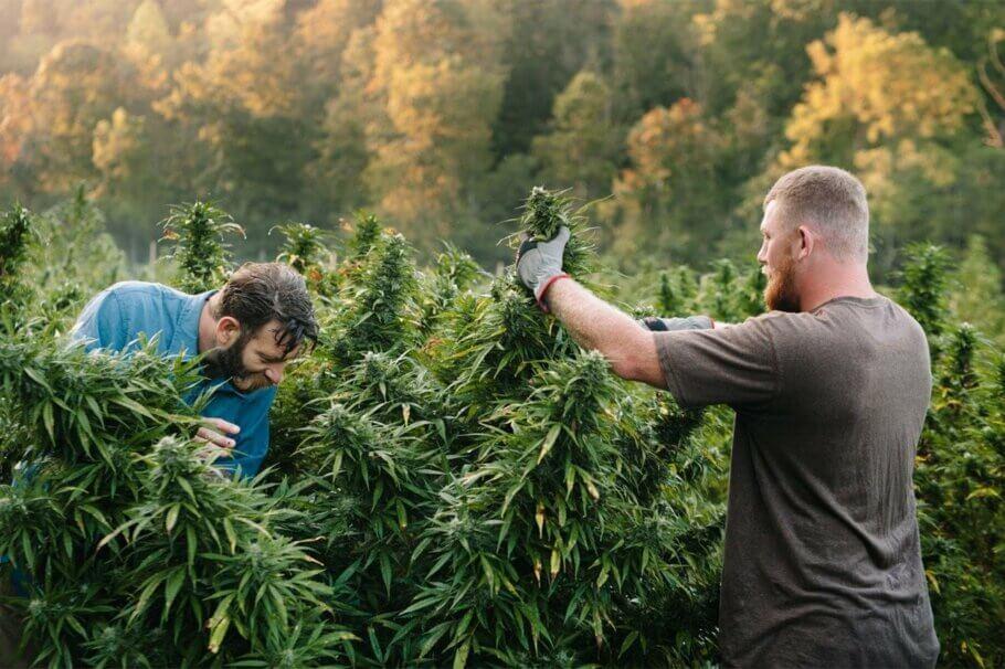 Cultiu de cànnabis sostenible