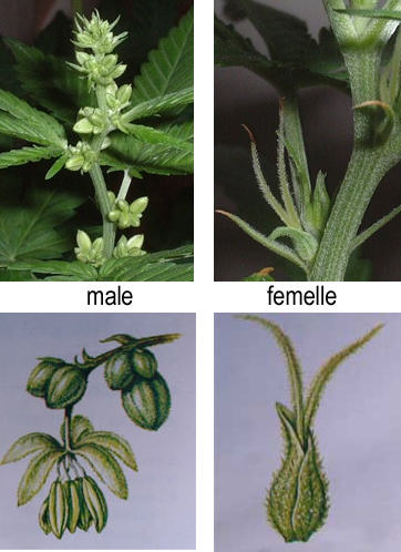 How to distinguish marijuana males from females