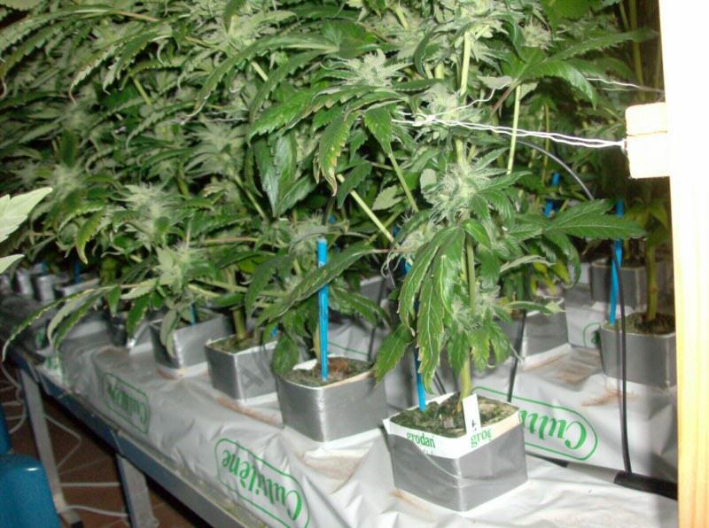 Hydroponic crop of marijuana plants