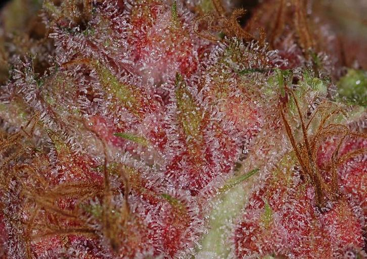The marijuana buds are covered with resin, which contains cannabinoids