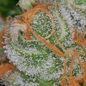When to harvest marijuana plants according to trichome ripeness