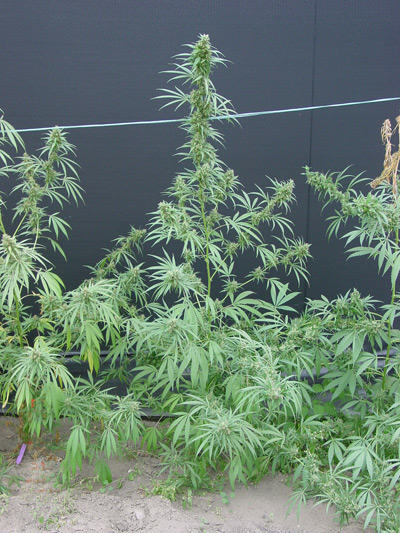 Growing marijuana basing on latitude - Alchimia blog