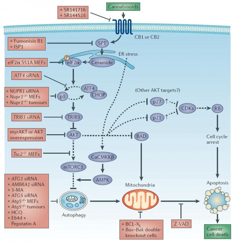 Diagram of the cannabinoid action against cancer cells