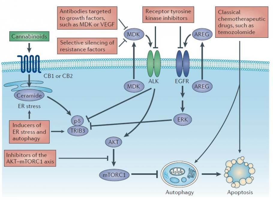 Mechanisms of cannabinoid action against brain tumors