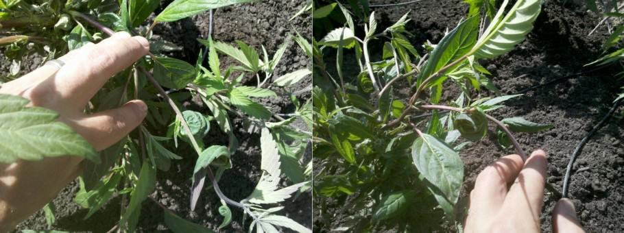 Marijuana plant in vegetative regeneration