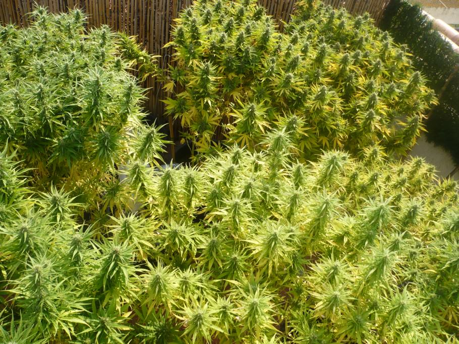 Marijuana plants about to harvest.