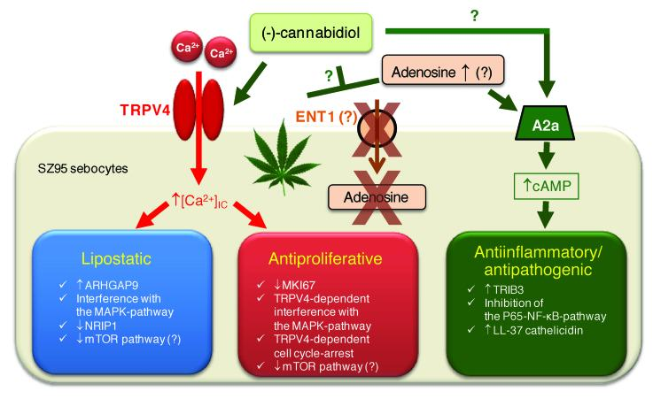 Cannabidiol is efficient against acne