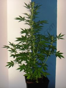 Growing autoflowering cannabis - Alchimia blog