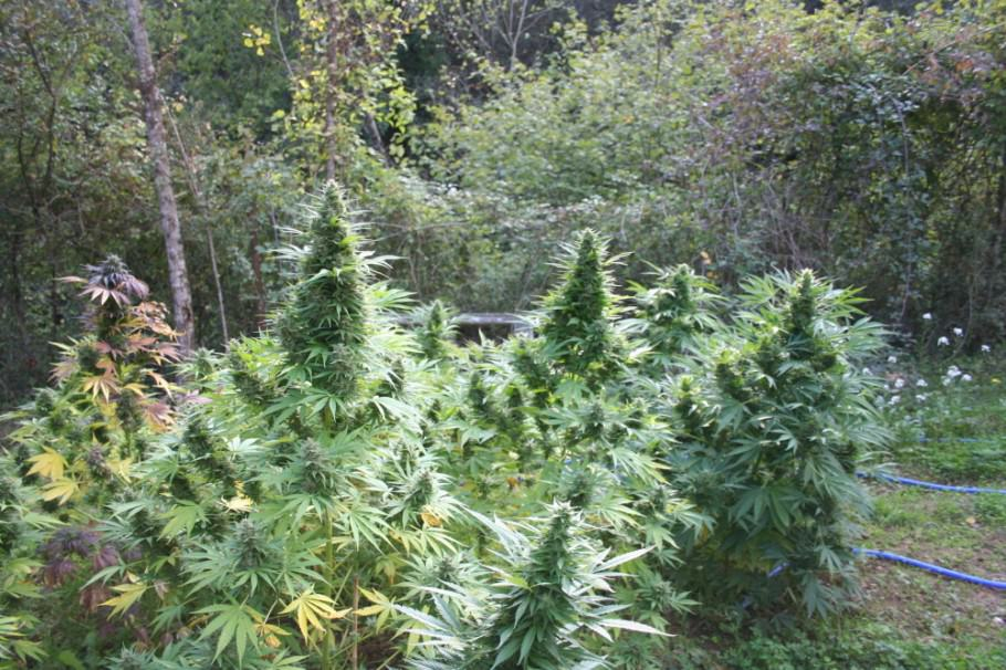 Growing marijuana in the ground alchimia blog for Cannabis exterieur