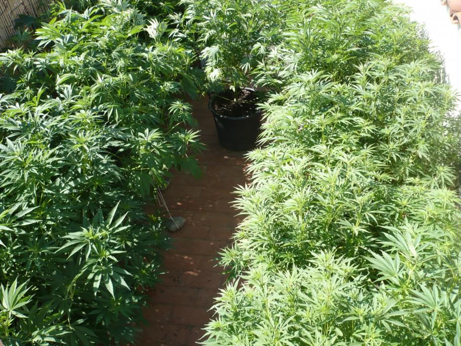 Marijuana crop in mid-July.
