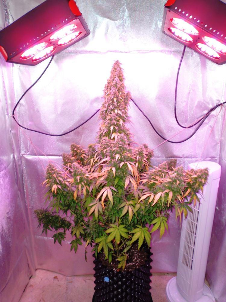 History of marijuana strains - Alchimia blog
