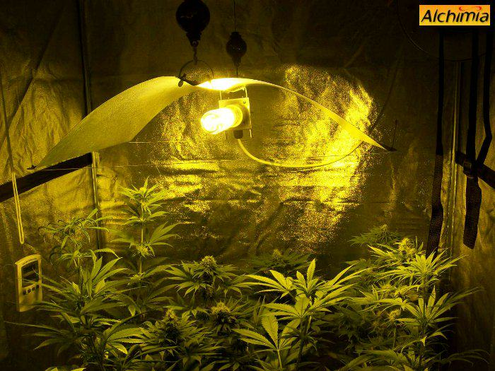 Different plants flowering in the same tent & Growing marijuana in grow tents - Alchimia blog