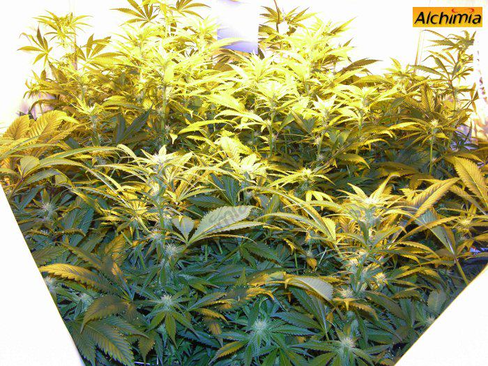Marijuana plants flowering in a tent & Growing marijuana in grow tents - Alchimia blog
