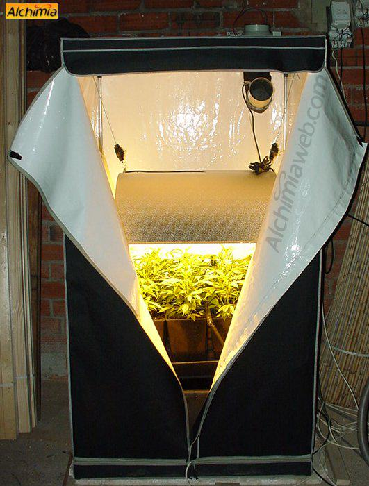 Growing marijuana in grow tents