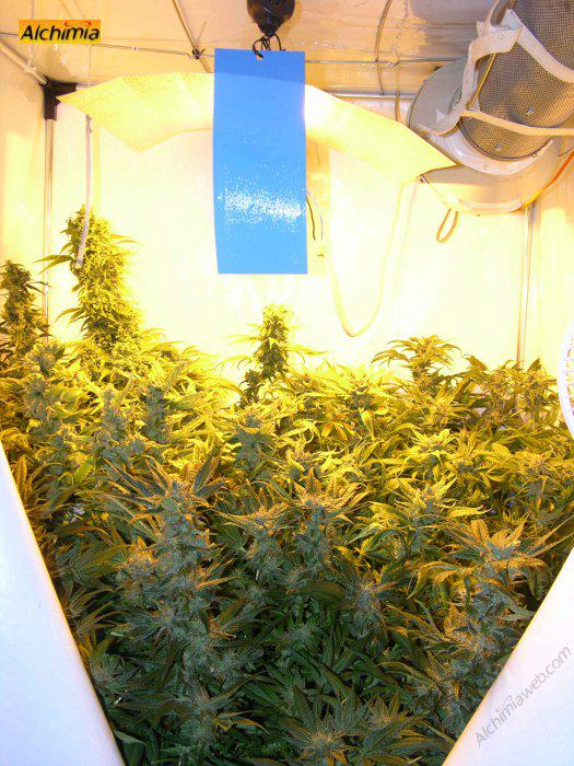 Growing tent packed with ripe plants & Growing marijuana in grow tents - Alchimia blog