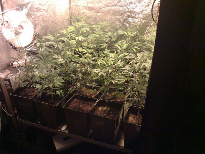 SOG indoor cannabis crop