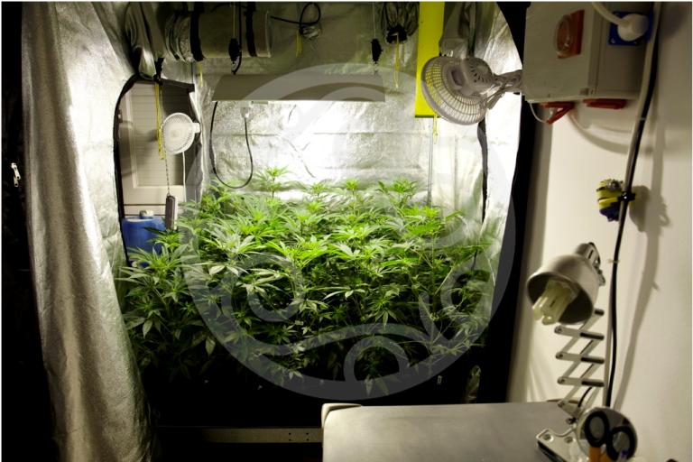 Indoor growing tent with Jack el Frutero plants