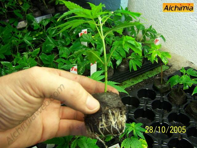 Growing cannabis cuttings alchimia blog for Floraison cannaweed